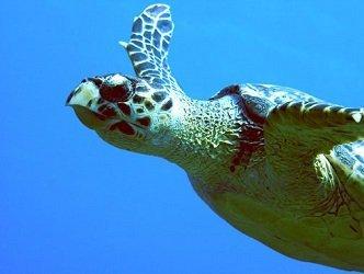 Close Up of Turtle Underwater